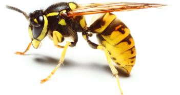 كيف يمكنك التعامل مع لسع النحل و لدغ الدبابير؟