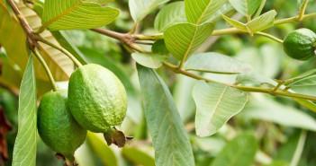 هل تعلم فوائد أوراق الجوافة المذهلة للشعر