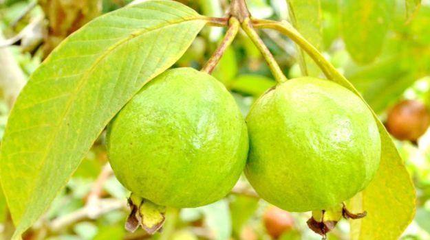 الجوافة مصدر غذائي هام للمرأة الحامل