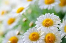 فوائد البابونج للجسم و أهم وصفاته للبشرة